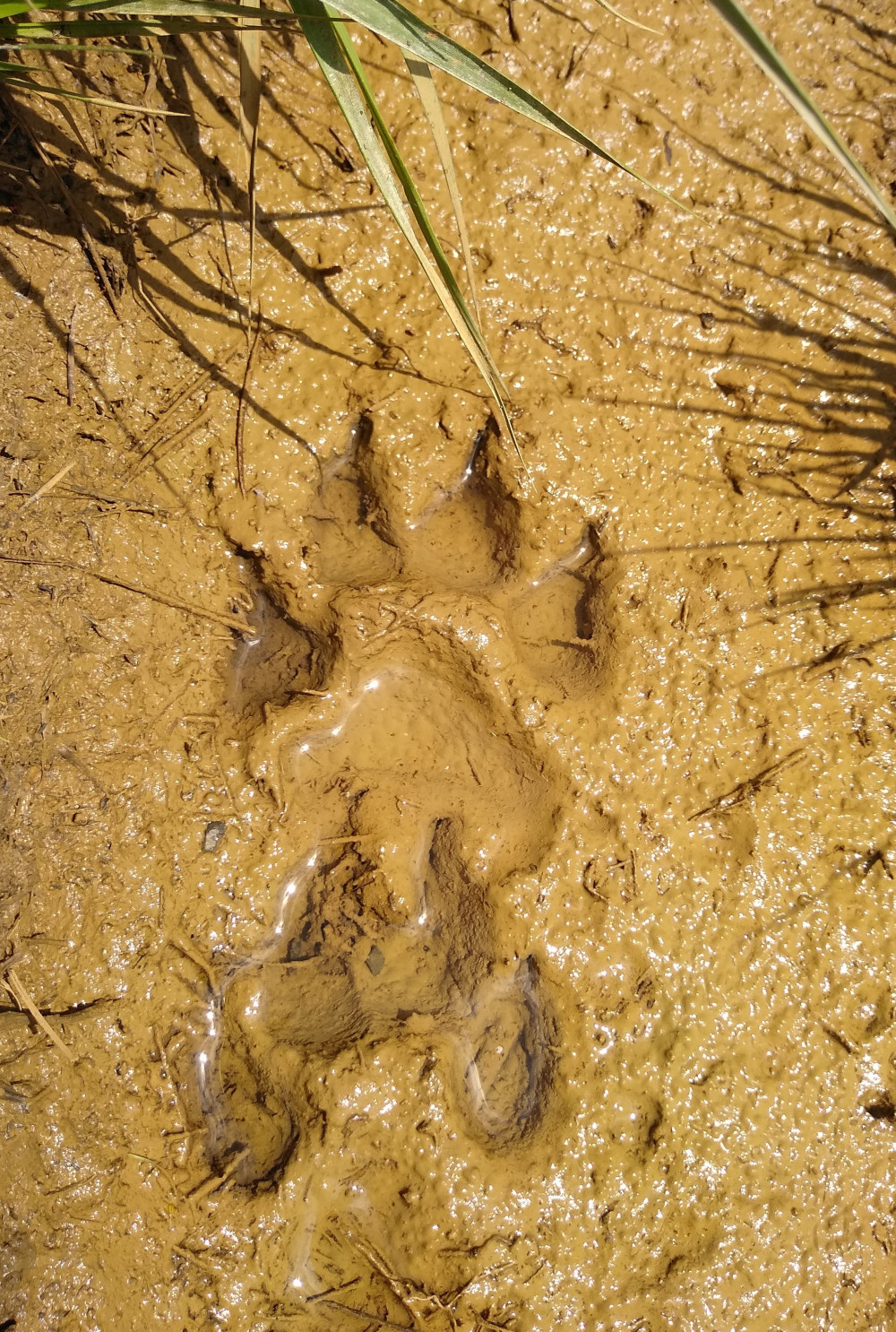 Wolf's paw spotted in the forests of Kočevje by our campers.